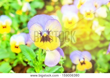 Colorful pansies in the garden. Artificial light effect was added in the top right corner, for warm style.