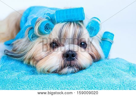 Shih tzu dog hair style with curlers and towels. On white background.