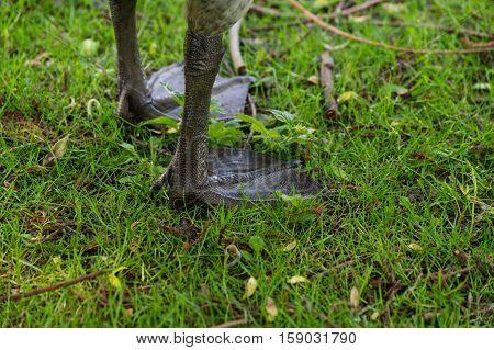 Feet of a Canada Goose. Canada Goose