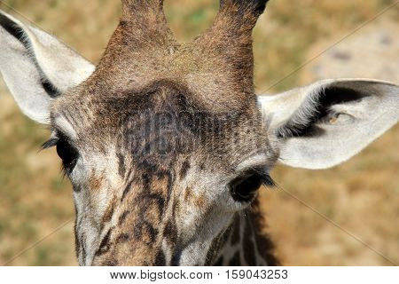 Adorable face of giraffe with large brown, friendly eyes.