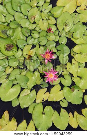 Vertical image of bright and colorful pink water lilies set on bed of lush  foliage in pond water garden.