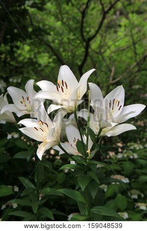 Vertical image of brilliant, white lilies, petals opened up to the warm Summer sunshine.