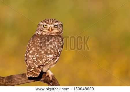 Cute owl, small bird with big eyes in the nature