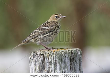 Siberian Pipit sitting on a wooden post summer day