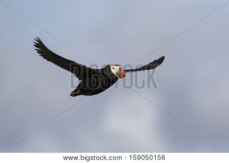 tufted puffin flying toward a summer day