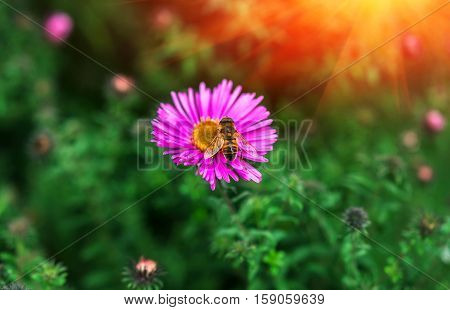 insect bee pollinates a beautiful pink flower in the summer.
