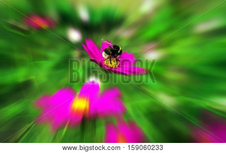 insect bumble bee pollinates a beautiful pink flower in the summer