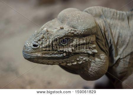 Rhinoceros iguana (Cyclura cornuta), also known as the Goliath dragon.