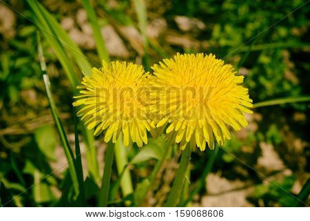 group yellow dandelions grow on the meadow