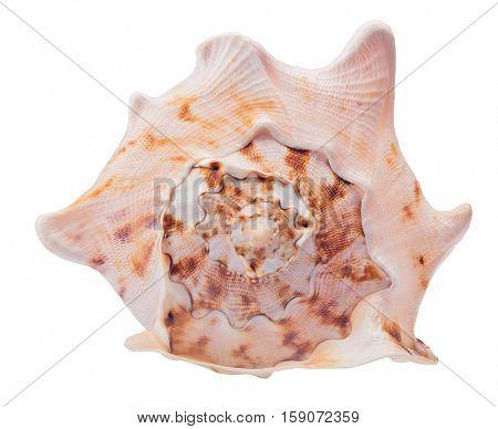 beige shellfish isolated on white background