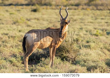 Red Hartebeest Walking In The Bush. Wildlife Safari In The Karoo National Park, Travel Destination I