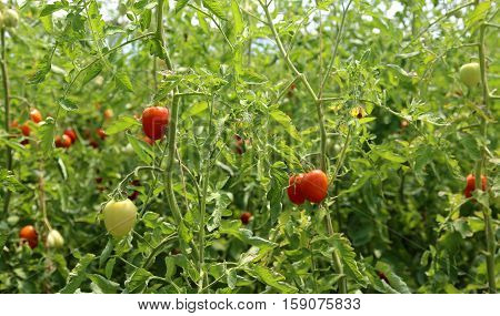 Ripe Tomatoes Grown In A Greenhouse