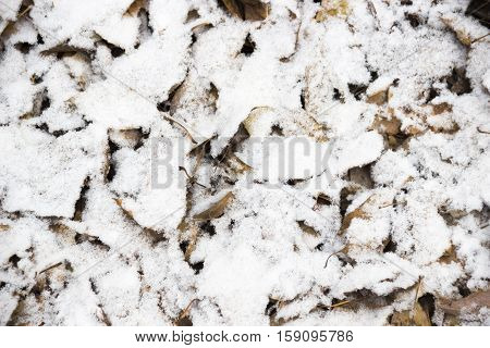 close-up frozen dry leaves at the snow background