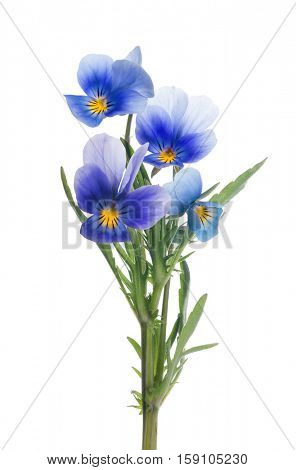 four pansy flowers isolated on white background