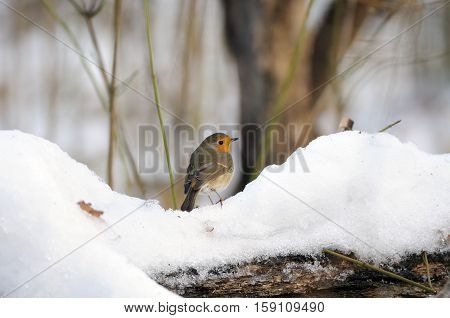 European Robin (Erithacus rubecula) in the snowy park. Moscow Russia