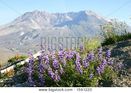 Mount Saint Helens And Wildflowers