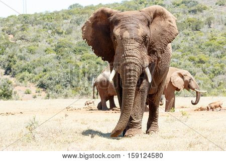 African Elephant Standing Tall