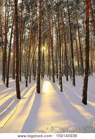 Snowy winter pine forest at sunset.Winter forest covered with snow.Winter background.