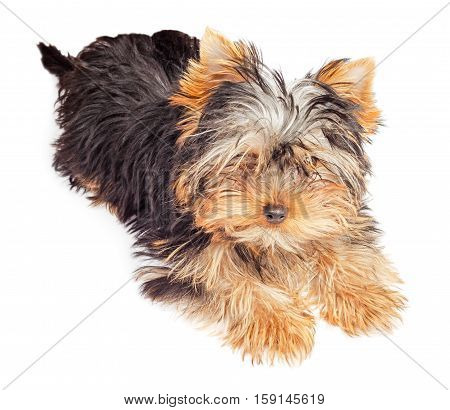 Fluffy Yorkshire Terrier puppy isolated on white background