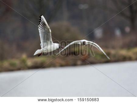 Flying Gulls