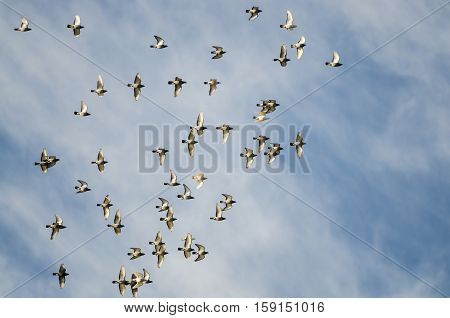 Flock of Rock Pigeons Flying in a Blue Sky