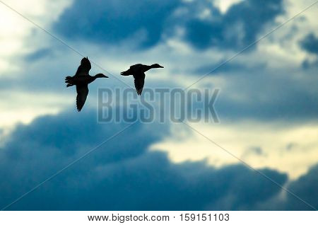 Pair of Silhouetted Ducks Flying in the Dark Evening Sky