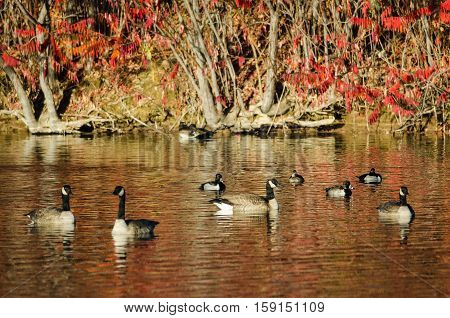 Canada Geese Resting on the Autumn Pond