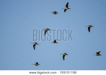 Flock of Wilson's Snipe Flying in a Blue Sky