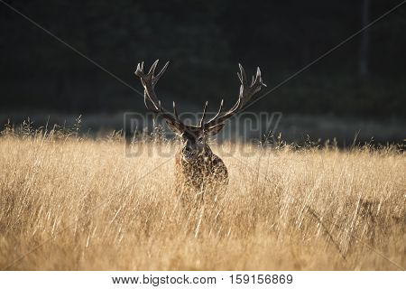 Majestic Red Deer Stag Cervus Elaphus Bellowing In Open Grasss Field Landscape During Rut Season In