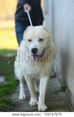 Cute dog big pet doggy with fawn coat and cropped ears walks on leash outdoors on natural background
