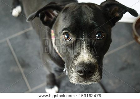 Beautiful Dog with big brown puppy dog eyes and floppy ears looking up in a kitchen near food bowl