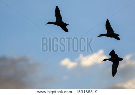 Three Silhouetted Ducks Flying in the Dark Evening Sky