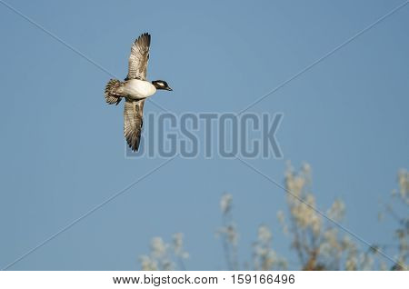 Bufflehead Duck Flying in a Blue Sky