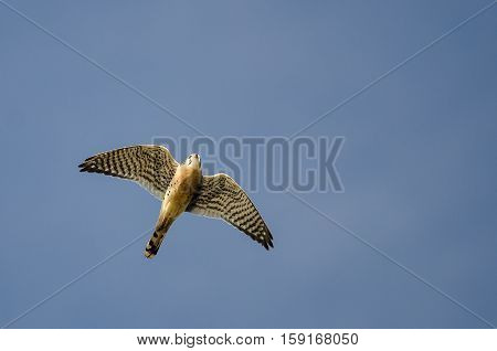 American Kestrel Flying in a Blue Sky