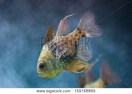 Pajama cardinalfish (Sphaeramia nematoptera), also known as the spotted cardinalfish.