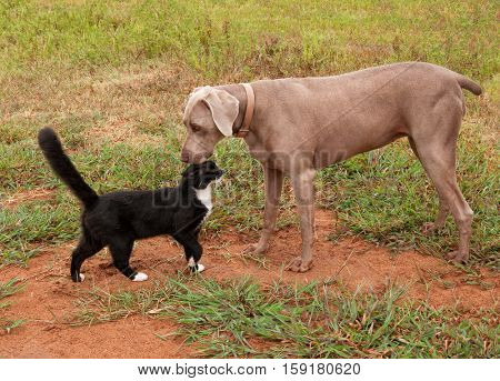 Black and white cat confidently approaching a Weimaraner dog