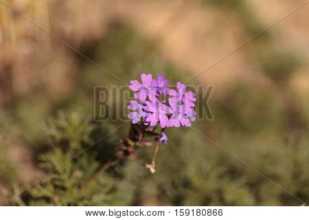 Tiny purple Lantana flowers grow in the desert of Southern California