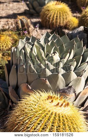 Blue agave cactus also called blue flame agave grows in a desert garden in Southern California
