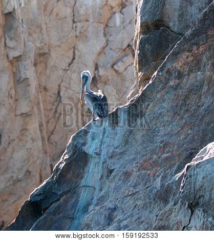 Pelican on Los Arcos cliffs on Lands End at Cabo San Lucas Mexico BCS