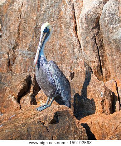 Pelican on Los Arcos cliffs on Lands End at Cabo San Lucas Baja Mexico