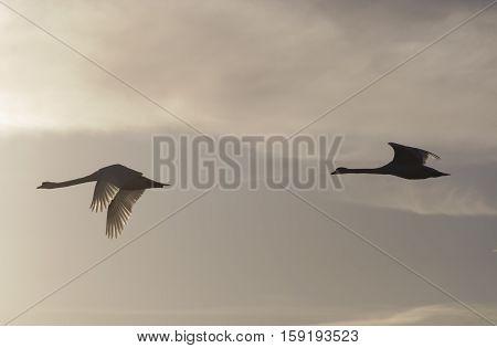 Pair of Mute swans ( Cygnus olor ) in flight Bedfordshire England UK.
