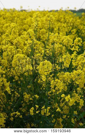 Oilseed Rape - known as Brassica napus scientifically - in flower on a farm in Bedfordshire England.