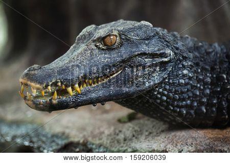 Cuvier's dwarf caiman (Paleosuchus palpebrosus).