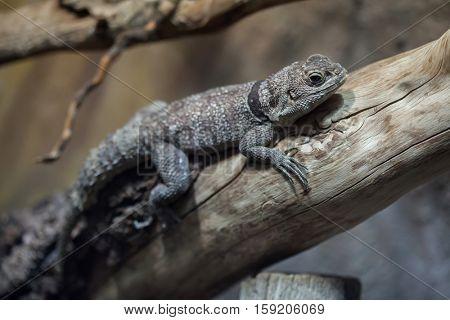 Cuvier's Madagascar swift (Oplurus cuvieri), also known as the Madagascar collared iguana.