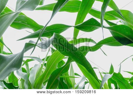 close up abstract background of green corn leaves