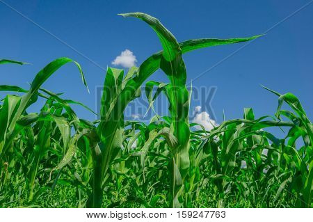 Green corn field in agricultural garden and blue sky