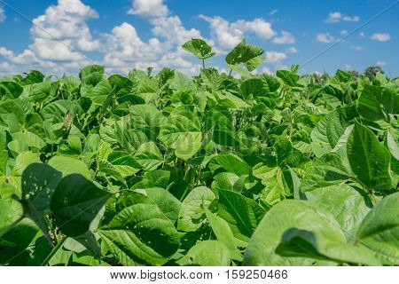 The Mung bean crop in agriculture garden with blue sky