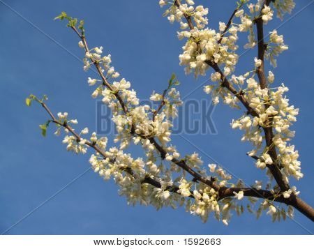 White Redbud Branch- Cercis Canadensis