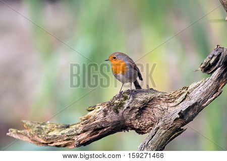European Robin Perching On Piece Of Dead Wood.