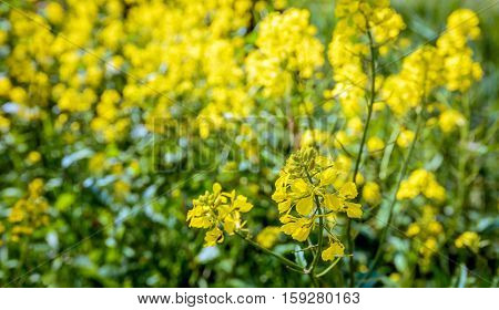 Closeup of yellow blossoming rapeseed against its blurred natural background at the edge of a Dutch nature reserve on a sunny day in the springtime season.